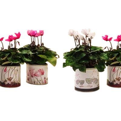 cyclamen-κυκλάμινο-βότανα-σε-κουτί-greek-herbs-in-a-can-herbs-βότανα-how-to-plan-fleria-corporate-gift-εταιρικά-δώρα-greek-aroma-goulandris-museum-μουσείο-γουλανδρή1