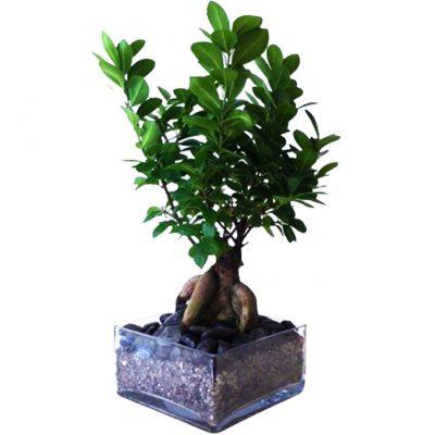 tetrag.-piatela-bonsai